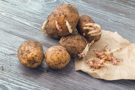 Unpeeled potatoes with traces of earth and fresh sprouts. Potatoes of the last harvest, spring germinate and less suitable for food