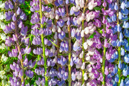 Natural natural background of flowers of white, purple and blue lupin.