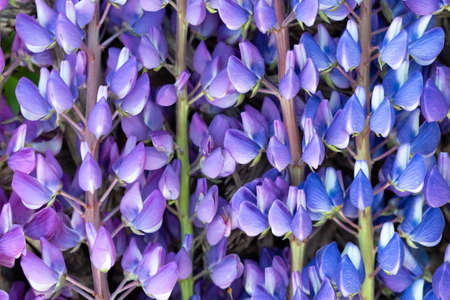 Natural natural background of flowers of blue lupin