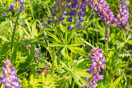 Flowers of pink and purple lupin on the field in natural sunlight. 写真素材