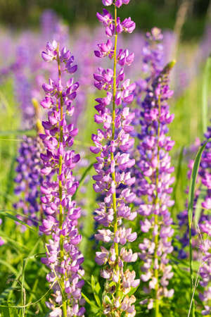 Flowers of purple lupin on the field in natural sunlight. 写真素材