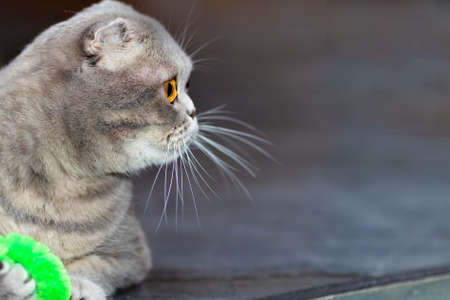The Scottish fold cat lies down and turns its head to the side