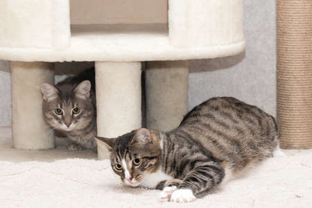 Two tabby mongrel cats play near the scratching post and the cat house.