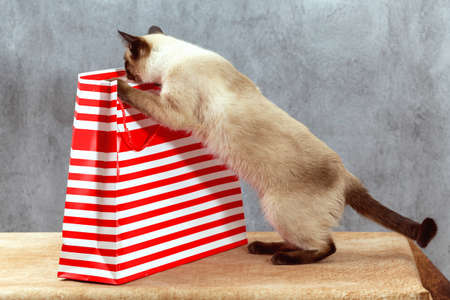 A Thai cat studies a striped holiday gift bag. Package stands on a beige table, gray background, Thai cat