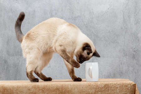 A Thai cat has climbed up on the table and is playing with a white mug. Grey background, light beige tablecloth, young beautiful cat
