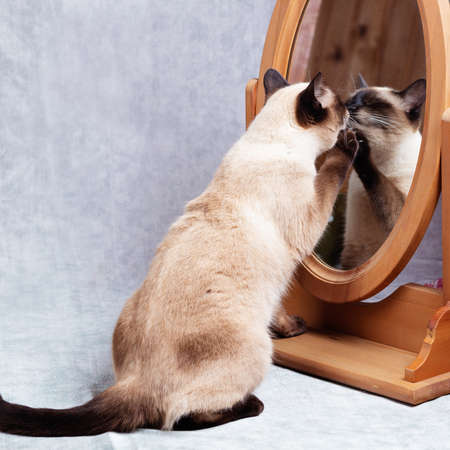 The cat looks at itself in a wooden-framed desk mirror. Funny Thai cat does not recognize itself in the mirror. Close-up, gray background, selective focus