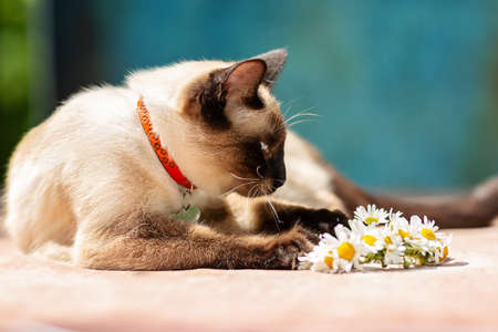 A white Thai cat lies next to a small wreath of daisies. Sunlight, blue background in grunge style Imagens