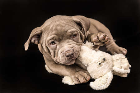 A liliac American bully puppy with uncut ears is playing with a soft toy. Imagens