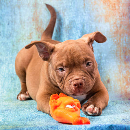 A brown American bully puppy plays with an orange rubber toy. Stock Photo