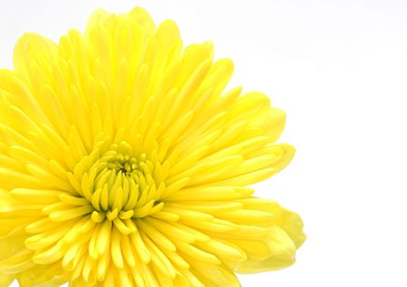 Photo of a Yellow Carnation