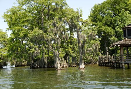 bayou swamp: Photo of Weeping Trees Stock Photo