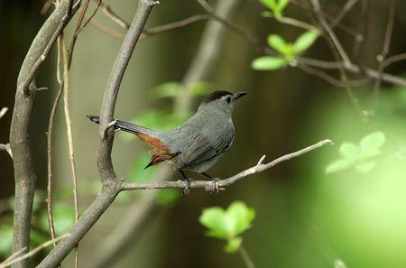 Pirched Robin