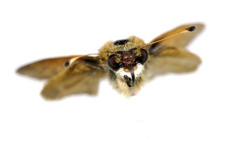 飛行 - 関連の昆虫蛾の写真