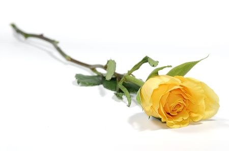 Photo of a Yellow Rose - Flower  Florist