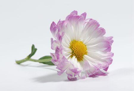 Photo of a Mum - Flower Related - Seasonal
