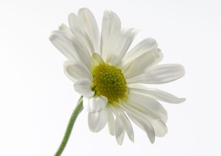 Photo of a White Mum - Flower Related - Seasonal Stockfoto