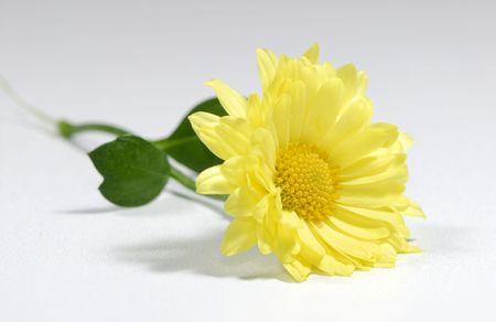 Photo of a Yellow Mum - Flower Related