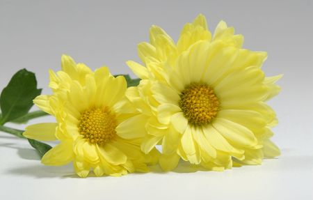 Photo of 2 Yellow Mums - Seasonal Flower - Autumn