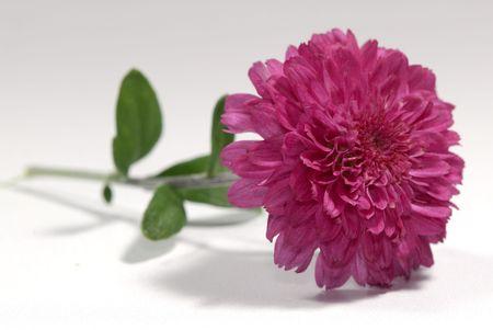 Photo of a Single Mum - Seasonal Flower - Autumn
