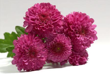Photo of Magenta / Maroon Color Mums - Seasonal Flower - Autumn Stockfoto