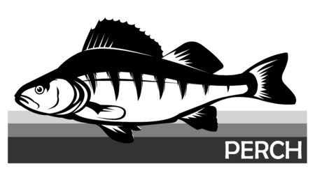 Perch common fish. Predatory river fish. European fish. Edible. Fishing for perch. River, lake. Striped Barbed. Introduced to Africa and Australia. Isolated. Vector illustration. Ilustração