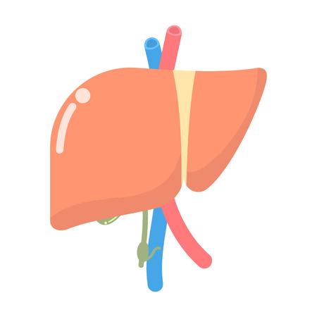liver, internal organs anatomy body part nervous system, vector illustration cartoon flat design clip art