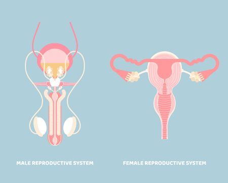 male and female reproductive system, internal organs anatomy body part nervous system, vector illustration cartoon flat character design clip art