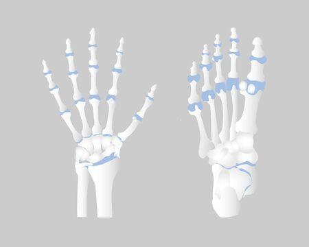 bone of the hand and foot anatomy, internal organs body part orthopedic health care, vector illustration cartoon flat character design clip art