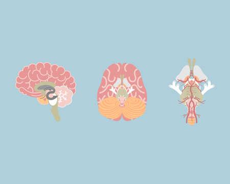 human brain and brain stem, internal organs anatomy body part nervous system, vector illustration cartoon flat character design clip art