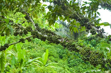 nota: Ficus Nota or Tibbig tree with fruit photo