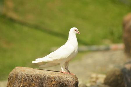 White pigeon on green background photo Imagens