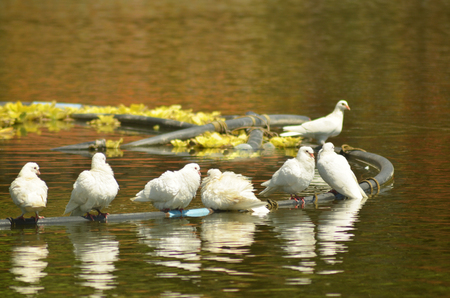 Group of pigeons drinking water photo