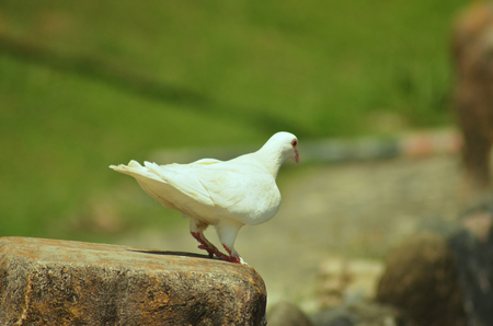 White pigeon about to fly photo