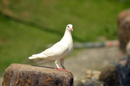 White pigeon on green grass background photo