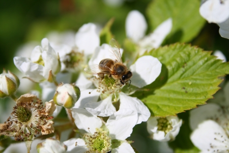 Apple blossom with bee on it photo