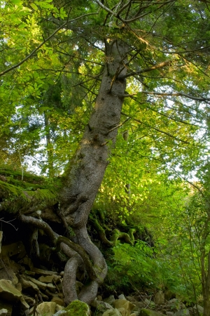 Aweome spring tree on the rock in the forest photo