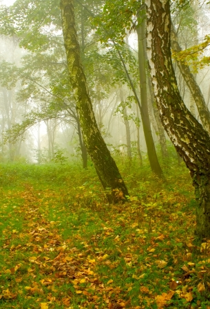 Autumn birch forest path during misty morning photo