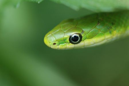 Rough Green Snakes can be found in hilly areas where it frequents dry, sparse woodland habitat. They are very good climbers and often bask in low trees and bushes on sunny days. The Rough Green Snake preys mostly on insects such as grasshoppers and spider