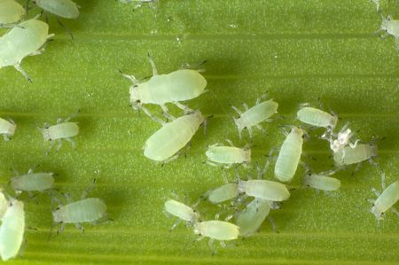colony of aphids