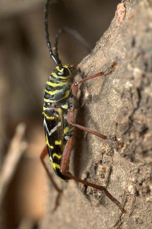 szarańcza: Locust Borer - Megacyllene Robiniae