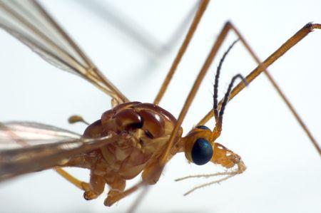 crane fly: Closeup on crane fly