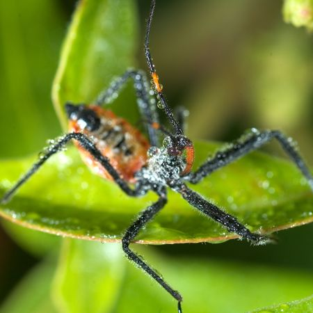beneficial: Assassin bug (beneficial for your garden but dont get bite)