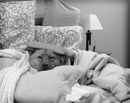 Dog sick in bed - Sick as a dog concept photo