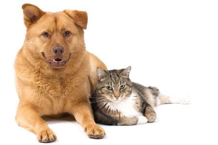 domestic cat: Dog and Cat posing for the camera (white background).