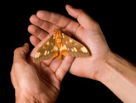 Regal Moth (Citheronia regalis) resting on hands