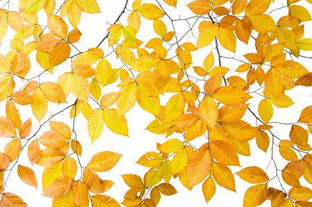 Boomtak met bladeren geïsoleerd op witte achtergrond