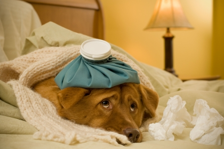 dog health: Sick as a dog concept - Dog in bed with scarf and water bottle on its head. Stock Photo