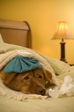 Sick as a dog concept - Dog in bed with scarf and water bottle on its head. Archivio Fotografico