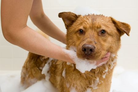 grooming: Dog in bathtub while owner washing. Stock Photo