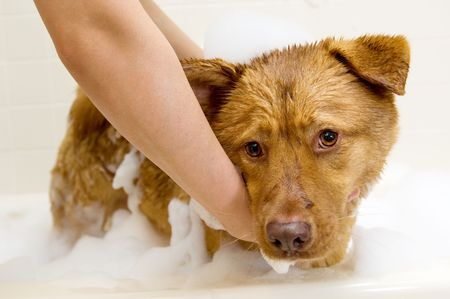 grooming: Owner washing dog in bathtub. Stock Photo